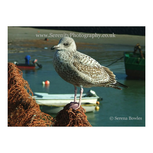 Serenity Photography - Buy Baby Seagull